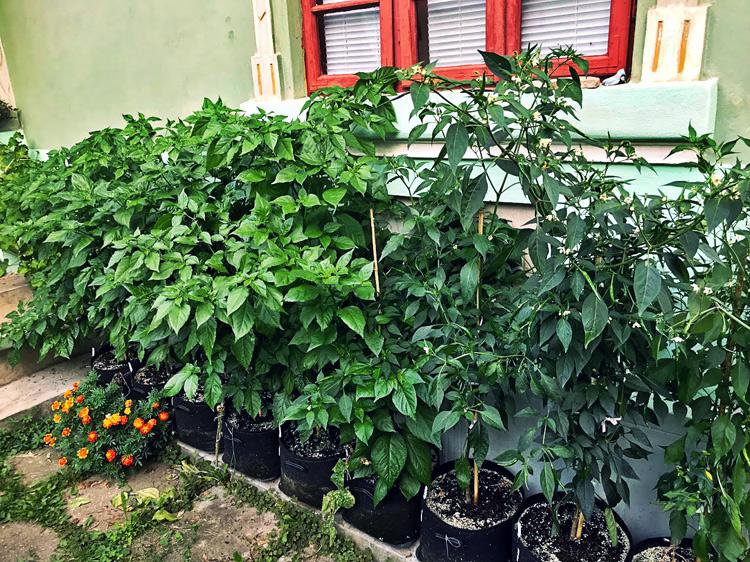 chili-grow-bags